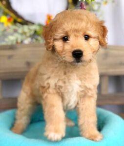 Bankstown Area Nsw Dogs Puppies Gumtree Australia Free