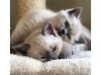 British shorthair kittens (Colourpoint)