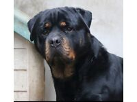 KC REG ROTTWEILER MALE 3yrs