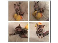 Brown and gold rosetted Bengal kittens for sale with free accessories.