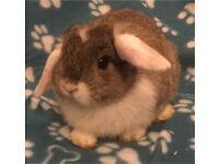 Beautiful baby mini lop boy,