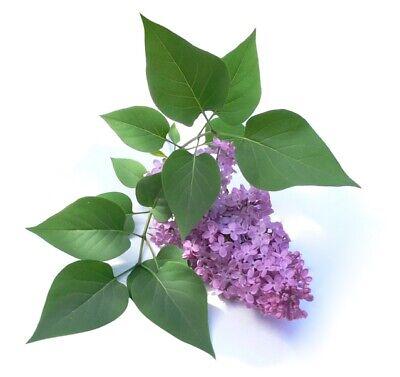 Lilo Lilac Syringa Vulgaris Suitable Bonsai 100 Grams Of Seeds