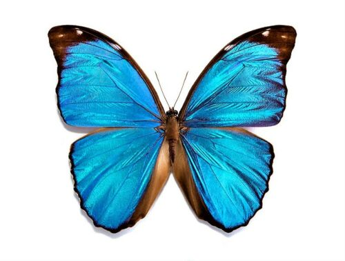 Menelaus Blue Morpho Butterfly Morpho menelaus Male Folded FAST FROM USA