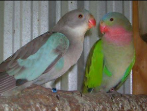 Pair of princess parrots. Gawler South Gawler Area Preview