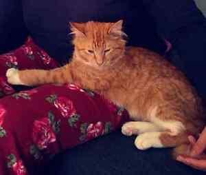 Lost Ginger Cat Toorak Stonnington Area Preview