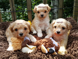 GORGEOUS MALTIPOO PUPPIES