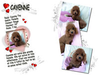 4 FEMELLES CANICHES TOY / 4 TOY POODLE FEMALES