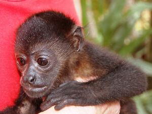 SPEND A MONTH WITH MONKEYS!! Prince George British Columbia image 1