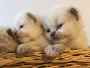 Himalayan kittens ( lilac and seal point )  for sale