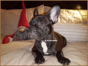 Sold sold sold French Bulldog /bouledogue francaise
