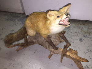 Full Size Taxidermy Fox