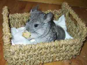 Beautiful Baby Chinchilla Ready for new home! CHRISTMAS
