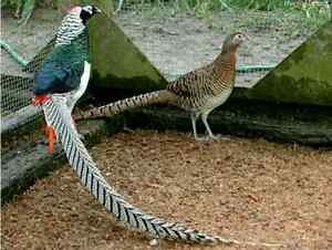 Pair of Lady Amherst Pheasants
