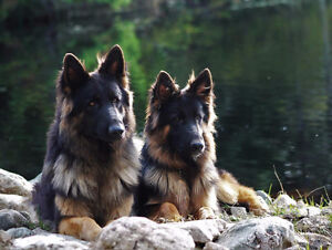 BEAUTIFUL CKC REGISTERED GERMAN SHEPHERDS