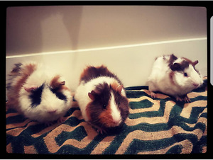 3 guinea pigs for sale