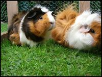 2 female guinea pigs to give to good home