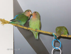 COUPLE ( INSEPARABLE) LOVE BIRDS WHIT THE CAGE !!!