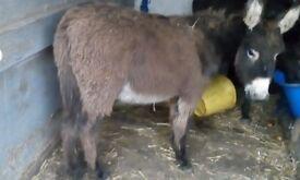 Jack donkey