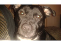 Loving 4 Yr old female staffy