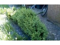 LAURAL HEDGING PLANTS ** WELL ESTABLISHED ** OVER 20 AVAILABLE