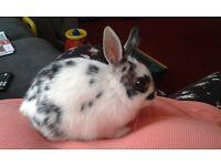 Female Dwarf Rabbit and hutch.