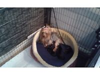 Toy Yorkshire terriers