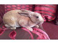 Mini Rex Rabbit for sale
