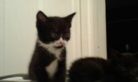 Cute kittens ready to go now lapping eating and litter trained