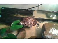**Reduced**£80 Yellow bellied slider turtle & tank etc