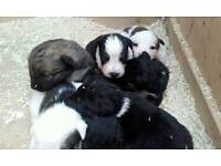 Beautiful border terrier/ border collie puppys looking for their forever home!
