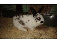 Rabbit called Nibbles for sale. 2 years old