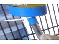 Russian Dwarf Hamsters for Sale -£10 each