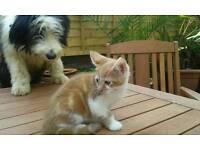 Male Ginger kitten for sale