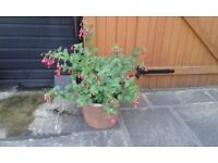 .large established fuchsia in a clay pot