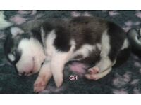 Alaskan Malamute puppies for sale £800.