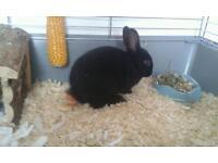 9 week old dwarf rabbit