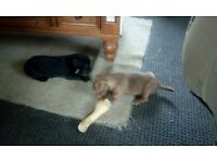 Patterjack puppies for sale male £200 each