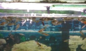 Colourful baby guppies for sale