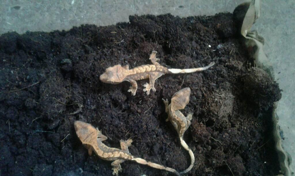 3 female harliquin crested geckos