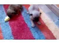 Lovley little jug puppies