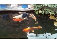 Koi for re-home/sale