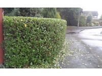 Tree and Hedge Handyman, Garden Services, Tree Felling, Hedge Trimming/Reduction