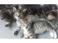 Beautiful BengalXTabby kittens ready now for forever homes