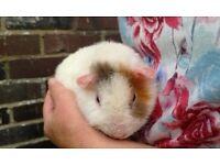 Teddy boar guinea pig