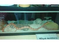 hypo corn snake for sale with everything you need