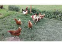 Hens and cockerels FREE TO GOOD HOME