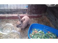 For sale 8 week old baby rabbit