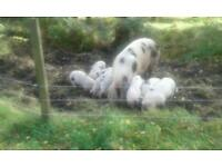 GOS Weaners