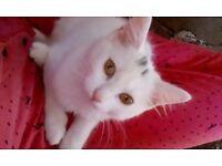 White maincoon cross kitten
