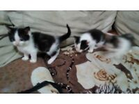 KITTENS: 2 black and white, 1 tabby and white